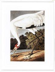 Grafika Whooping Crane White 70x90cm