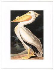 Grafika White Pelican 70x90cm