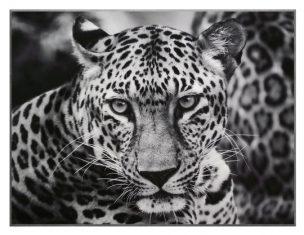 Fotografia Leopard B&W 81x61cm